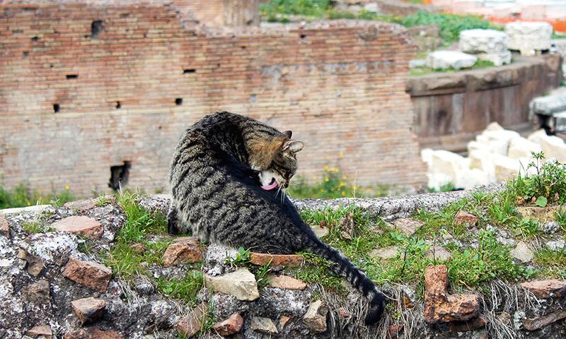 Pisica in Largo di Torre Argentina, RomaPisica in Largo di Torre Argentina, Roma